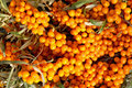 Sea buckthorn berries ripe background Stock Photography