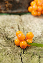 Sea buckthorn berries ripe on wooden background Stock Photos