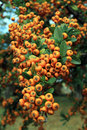 Sea buckthorn berry and leaves on the branch of bush Royalty Free Stock Images