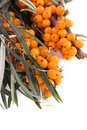 Sea buckthorn branch Stock Photography