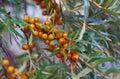 Sea buckthorn branch l orange berries Royalty Free Stock Photos