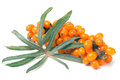 Sea buckthorn branch with leaves isolated on white background