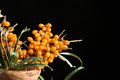 Sea buckthorn branch of ripe berries on a black background Royalty Free Stock Images