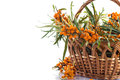 Sea buckthorn branch of ripe berries on a white background Royalty Free Stock Images