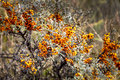 Sea buckthorn bush with berries many Stock Photography
