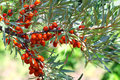 Sea buckthorn bush close up Royalty Free Stock Images