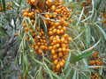 Sea buckthorn bush of ripe Royalty Free Stock Image