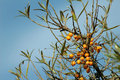 Sea buckthorn common on sky background Stock Image