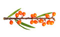 Sea buckthorn isolated on the white background Stock Image