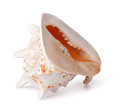 Sea cockleshell on a white background Royalty Free Stock Photo