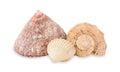 Sea cockleshells. Stock Photography