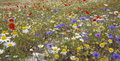 Sea of coloured flowers bluebottles poppies and daisies Royalty Free Stock Photo