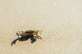 Sea crab on beach. Royalty Free Stock Photo