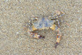 Sea crab the on sandy beach scientific name portunus trituberculatus Stock Photo