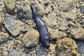 Sea cucumber is hidden under the rock in nature of koh lanta krabi thailand Stock Image
