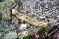 Sea cucumbers Royalty Free Stock Photo