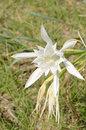 Sea daffodil known as sand lily Royalty Free Stock Photos