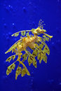 Sea dragon Royalty Free Stock Photo