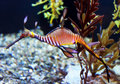 Sea dragon striped Royalty Free Stock Photo