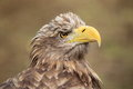 Sea eagle Stock Image