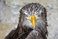 Sea Eagle Stock Photos
