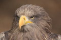 Sea eagle the detail of gazing Royalty Free Stock Photography
