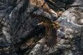 Sea eagle in flight Royalty Free Stock Photo