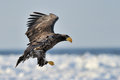 Sea eagle juvenile steller s flying with pack ice in background Royalty Free Stock Photography