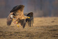 Sea eagle snatching food from a rival flying away in golden evening light Stock Photos