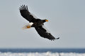 Sea eagle steller s flying with pack ice in background Stock Photo