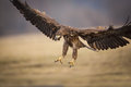 Sea eagle talons for landing and wings spread Royalty Free Stock Image