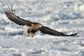 Sea eagle white tailed flying above the pack ice Stock Photography