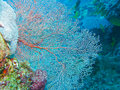 Sea Fan, Gorgonian, Great Barrier Reef, Australia Royalty Free Stock Photo