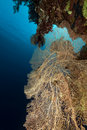 Sea fan in the Red Sea. Stock Images