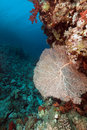 Sea fan in the Red Sea. Royalty Free Stock Photos