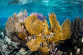 Sea fans on caribbean coral reef and other gorgonians thrive in the shallows of the this diverse tropical region is a popular Royalty Free Stock Image