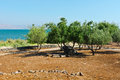 Sea of galilee olive grove on the shore the Stock Image