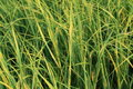 Sea Grass Royalty Free Stock Photo