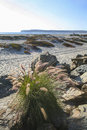 Sea grass sand dunes and point loma pampas cortaderia selloana grows between the rocks from the quay wall overlooks the coronado Stock Photo