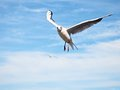Sea gull in blue sky. Wild seagull bird flies. Blue sky Royalty Free Stock Photo