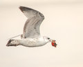 Sea gull caught crab dinner was being pursued other gulls his catch Royalty Free Stock Images
