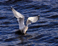 Sea gull fishing Royalty Free Stock Photo