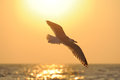 Sea gull flying to the sun Royalty Free Stock Photo