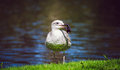 Sea Gull holding a bottle in its beak Royalty Free Stock Photo