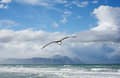 Sea gull hovers above false bay coastline with hottentot s holland mountains behind Stock Image