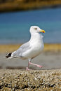 Sea gull marching wall Royalty Free Stock Images