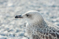 Sea gull perched against nice background Royalty Free Stock Image