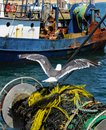 Sea gull perches on a roll of nets and ropes where it`s been harvesting bits of fish from a recent catch with rusted fishing boat Royalty Free Stock Photo