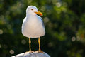 Sea gull portrait looking close up of a seagull family laridae nature green background Stock Photo