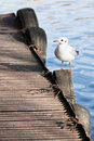 Sea gull sitting on pier Royalty Free Stock Photo